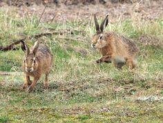 Ann Miles Photography: Havergate Hares