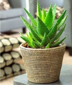 For the shower wall-cap shelves. Aloe removes formaldehyde and benzene. Aloe even has an additional benefit; the gel inside it can heal burns and cuts. Cacti And Succulents, Cactus Plants, Indoor Garden, Indoor Plants, Aloe Vera Plant Indoor, Balcony Garden, What Is Aloe Vera, Decoration Plante, Fruit Seeds