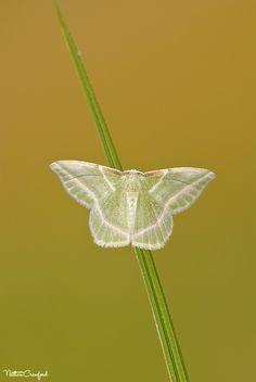 Showy Emerald (Dichorda iridaria) by chupacabra312, via Flickr