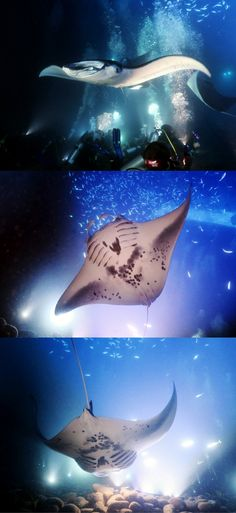 Manta night dive in Kona, Hawaii, USA, a magical night dive with mantas - Scuba Diving with Manta Rays in Hawaii - Click on the article to discover this scuba diving video and adventure - World Adventure Divers. #underwater #underwaterphotography #uwpics #snorkeling#snorkel#snorkelingtrip#scubadiving#scubadive #manta #mantanightdive #hawaii #usa #kona #video #mantarays