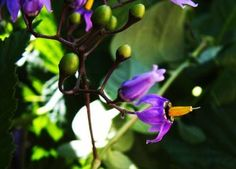 Belladonna/Nightshade: can become a weed pretty quickly, is definitely poisonous, but can have medicinal properties.
