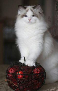 White beautiful cat