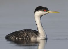 Lakes on the east side of the Cascades are the best place to see dancing and breeding Western Grebes. In the winter, they gather in large numbers in coastal areas. They are often easy to spot because they prefer open, deep water for diving. Their contrasting black-and-white plumage also draws the eye. #MustSeeBirds