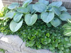 Hasselört och daggfunkia. Vilken fin färgbrytning. Summer House Garden, Home And Garden, Shade Garden, Garden Plants, White Gardens, Shade Plants, Garden Inspiration, Garden Ideas, Perennials