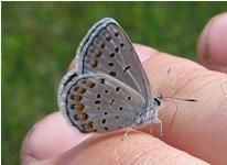 """""""Why talk about butterflies in the winter? Well, this is the time of year when the DNR does management work to help Karner blue butterflies. This pretty, nickel-sized butterfly is federally endangered, which means that it is in danger of becoming extinct."""""""