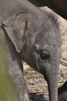 born June Aziatische olifant (Elephas maximus) Artis, Amsterdam, The Netherlands Conservation status: Endangered Asian Elephant, Elephant Love, Elephant Art, Giraffe, Elephants Never Forget, Save The Elephants, Baby Elephants, Pink Elephants On Parade, Elephant Parade