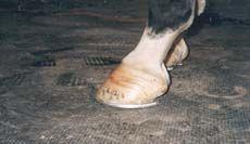 7 Tips to Horse Hoof Health