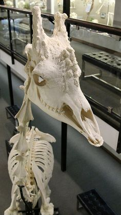 Giraffe Skull - Osteology Museum - Moore, OK by tossmeanote. I wonder if this skull form was a source of inspiration for the draconic mounts in Dragon Age Inquisition. Skeleton Anatomy, Skeleton Bones, Skull And Bones, Animal Skeletons, Animal Skulls, Skull Reference, Hand Reference, Pose Reference, Historia Natural