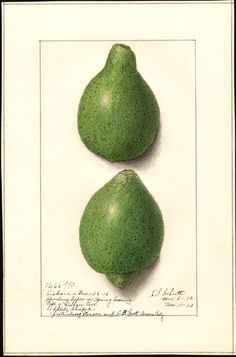 Artist:Schutt, Ellen Isham, 1873-1955 Scientific name:Citrus aurantiifolia Common name:limes Variety:Lisbon  col. ; 17 x 26 cm. Year:1913