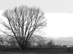 B&W of tree on a Colorado Ranch, front range mountains in backdrop