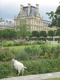 After a long day of sightseeing, Gilles decided to stop for a snack in the Tuileries gardens. #100DaysOfGoats (Because even goats love visiting Paris! There really are lawnmower goats working in the Tuileries !) #99