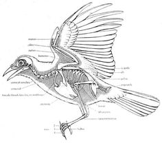 16 Ideas For Science Tattoo Anatomy Bones Skeleton Drawings, Bird Drawings, Animal Drawings, Cool Drawings, Drawing Pictures, Funny Bird, Anatomy Bones, Wing Anatomy, Dragon Anatomy