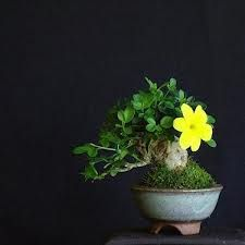 mini bonsai - Google Search