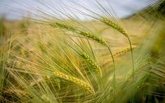 Hämta bilder gröna spikelets, korn fält, gröda, fält, öron