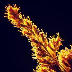 Goldenrod #closeup #macro #summer #2015 #photography #flower #yellow #goldenrod