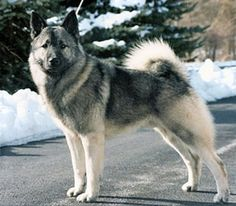 A Norwegian Elkhound in the snow.