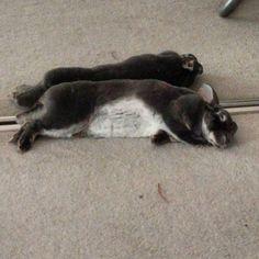 Snoozing with my best friend & worst enemy Mirror Bunny!! #bunny #houserabbit #rexbunny #rabbitsofinstagram #adoptdontshop #minirex #rexrabbit #cute #rabbit #bunnies #bunnylove #rabbits #reflection #mirror #snooze #nap #sleep #chill #reflected #sleepy by casadeviolet