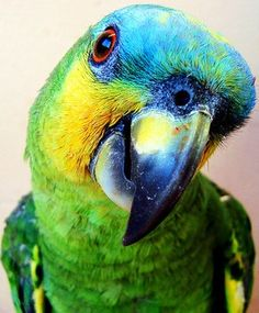 Blue front Amazon parrot, one of the prettiest and one of the nastiest Amazon parrots. There are exceptions however.