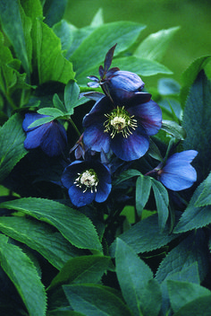 "Helleborus Blue Metallic Lady (Lenten Rose) does very well in the light shade under my birch trees. Large 3"" purple-blue flowers are an unexpected blossom in the early spring garden. The leathery foliage is semi-evergreen providing year round interest. Zones 5-8"