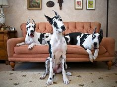 Great Danes - can this be my couch someday? Lol