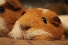 one of the cutest guinea pig faces