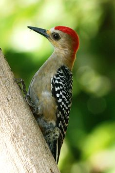 Red-crowned Woodpecker - S.W. Costa Rica, south to Colombia, Venezuela, Guianas & Tobago