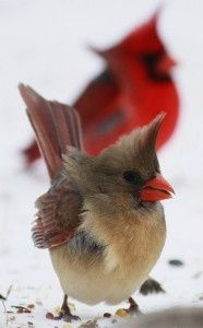 Cardinals -- favorite bird