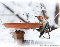 Hang On -  Fine Art Photography - Red-Bellied Woodpecker - 8 x 10  Print -  Winter Ice Snow - Wildlife Bird Nature Photo