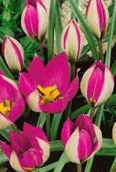 Tulip Humilis Persian Pearl- Bulbs
