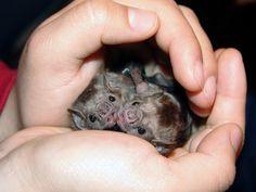 Cute Little Animals, Baby Animals, Fruit Bat, Cute Bat, Baby Faces, Creatures Of The Night, Asda, Seals, Beautiful Creatures