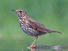 Laulurastas, Turdus philomelos - Linnut - LuontoPortti