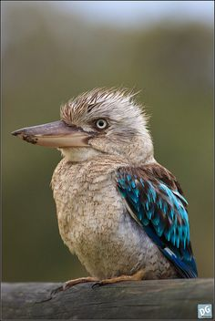 Blue-winged Kookaburra by David de Groot