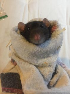 This is Lena. She is a rescue who loves to bite very hard because she was not handled properly but today was the first day of our trust training. After three weeks of towel wrapping gentle petting and LOTS of treats Im hoping to be able to hold her without fear (from either of us). #aww #cute #rat #cuterats #ratsofpinterest #cuddle #fluffy #animals #pets #bestfriend #ittssofluffy #boopthesnoot