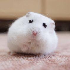 Am I too fat? Hamster Pics, Baby Hamster, Robo Dwarf Hamsters, Funny Hamsters, Super Cute Animals, Cute Little Animals, Cute Animal Memes, Cute Funny Animals, Cute Creatures