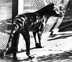 Extinct : Thylacine - tasmanian tiger - [Photo of Thylacine by Q. Vic. Museum & Art Gallery]