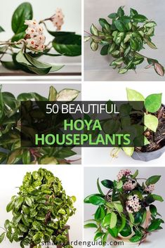 50 stunning Hoya houseplants you will love. Pictures, descriptions, and care tips for 50 of the most beautiful types of Hoya. Succulent Gardening, Cacti And Succulents, Garden Plants, Indoor Gardening, Indoor Flowering Plants, Blooming Plants, Outdoor Plants, Succulent Images, Kitchen Plants
