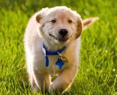 Wilson the Golden Retriever, Oh You're Home, I'm SO HAPPY!!!!!!!