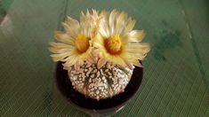 Astrophytum asterias cv. superkabuto Evo, Pudding, Cake, Desserts, Tailgate Desserts, Deserts, Custard Pudding, Kuchen, Puddings