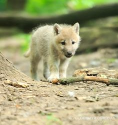 Arctic wolf pup by Volodymyr Burdyak on 500px