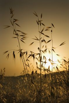 Avena sativa, also known as wild oats, for virility and more energy