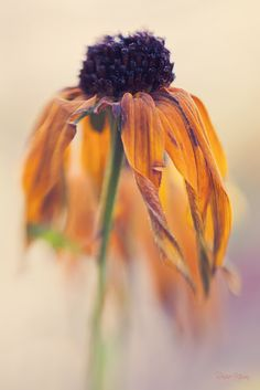 rudbeckia flowers in November Where decay can be embraced as a thing of beauty  and accepted as a natural progression in the course of nature.