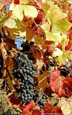 Syrah Vineyards in Casablanca Valley, Chile | Photography: Pablo Negri Edwards - Copyright ©