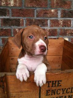 Ares~Pitbull puppy