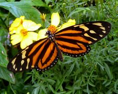 tiger mimic butterly