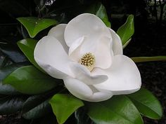 #southern Southern Magnolia...