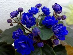 Ness's Crinkle Blue - Named Miniature African Violets