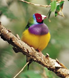 Female Gouldian finche - aviary
