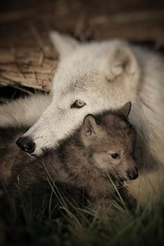 """""""good,happy and beautiful weekends wolf lovers Nature Animals, Animals And Pets, Baby Animals, Funny Animals, Cute Animals, Strange Animals, Cute Creatures, Beautiful Creatures, Animals Beautiful"""