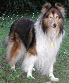 Everyone Needs Lassie! -  Rough-coated Collie