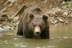 Bear Photos Big brown bear in river. Brown bear (Ursus arctos) in water by byrdyak